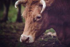 New free stock photo of animal head bull