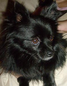 ~ Black Pomeranian ~