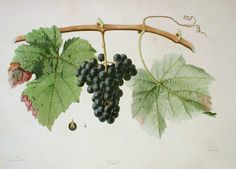 Verdot from 'Ampélographie française', by Victor Rendu. Paris, 1857. Ampelographies describe and often illustrate grape varieties. The hand-coloured lithographs of Eugene Grobon make this book possibly the most prized of the great ampelographies of the nineteenth and early twentieth centuries.