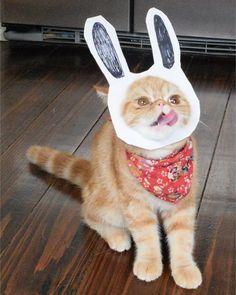 That's no ordinary rabbit! He'll nibble your bum.  #exoticshorthair #cat #cute #flatface #meow #mreggs #catlover #exoticsofinstagram #smushface #buzzfeedcats #montypython by mreggsthecat
