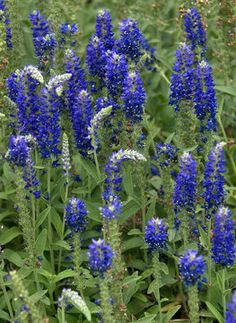 Veronica Goodness Grows (Speedwell) - zone 3-8 Blooms late summer to late fall.