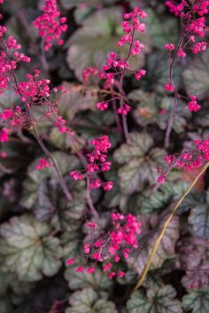 Pink Heuchera blooming in summer garden - shade perennials Town And Country, Country Living, Heuchera, I 9, Shade Perennials, Summer Garden, Shade Garden, Garden Landscaping, Vines