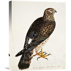 Global Gallery 'Falco Pygargus, Hen-Harrier, Fem' by Rev. Christopher Atkinson Painting Print on Wrapped Canvas Size: