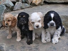Adorable set of four cocker spaniel puppies in different color variations. The last black and white one looks like spencer! Perro Cocker Spaniel, American Cocker Spaniel, English Cocker Spaniel, Cocker Dog, Springer Spaniel Puppies, Puppies And Kitties, Cute Puppies, Cute Dogs, Beautiful Dogs