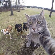 Photogenic Gray Tabby Cat Takes a Whole Bunch of Selfies With His Canine Companions Funny Animal Memes, Cat Memes, Funny Animals, Cute Animals, Silly Cats, Cute Cats, Funny Cats, Fun Funny, Selfie Gato