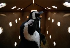 Packaged Penguins!  Every wonder how small animals get shipped from point A to point B.  This penguin box is one way. PD
