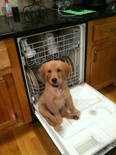 The most adorable dishwasher helper: | The 38 Most Important Moments In Golden Retriever History