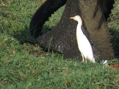 Bird Photos, Birding Sites, Bird Information: CATTLE EGRET FOLLOWING ELEPHANT, IMBABALA PRIVATE ...