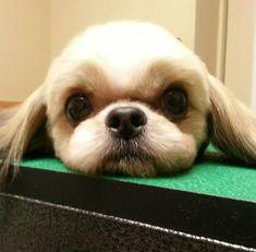 Short shih tzu haircut, puppy cut, short face trim, shih tzu pet groom