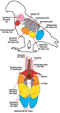 Air Sacs of a Bird. How the Respiratory System of Birds Works.