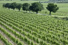 Allegrini, Fumane, Verona The vineyard outlined by trees. Valpolicella Italy