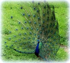 Peacock with it's feathers open...