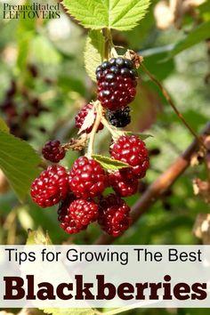 Tips for Growing Blackberries in your garden, including how to plant blackberries, how to grow blackberries in containers, how to care for blackberries, and more berry gardening tips.