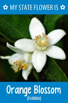 Florida's state flower is the Orange Blossom.