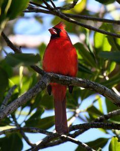Northern cardinal. (Charlie Banks) #photography #florida #sanibel #birds #cardinal