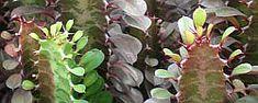 Cuidados de la planta Euphorbia trigona o Planta de la leche.