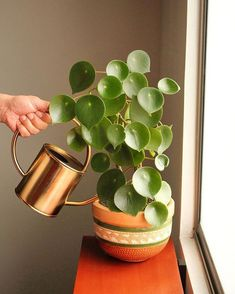 First Home Decoration Peperomia polybotrya - Peperomia polybotrya - Home Decoration Peperomia polybotrya - Peperomia polybotrya - Planting Succulents, Garden Plants, Indoor Plants, Planting Flowers, Indoor Cactus, Cactus Cactus, Water Plants, Balcony Garden, Herb Garden