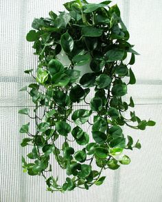 Philodendron cordatum (common names: Philodendron Angra dos Reis, Heart Leaf Philodendron) is an epiphytic and epilithic species of Philodendron endemic to southeastern Brazil.