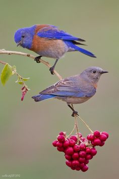 A juvenile Western Bluebird accompanied by its male parent during morning catch.