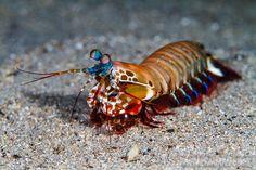#peacock #Mantis #shrimp