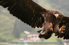 Unter Falken, Adlern und Geiern Camping, Bald Eagle, Animals, Falcons, Eagle, Rv, Viajes, Animales, Campsite
