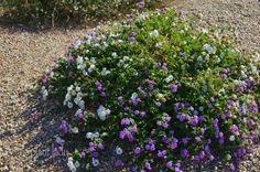 variety of Trailing Lantana is called 'Lavender Lace' and has both purple and white flowers  Read more: http://birdsandblooms.com/blog/a-walk-through-my-garden/#ixzz43Ff4oxmQ