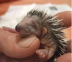 Image result for baby porcupine images