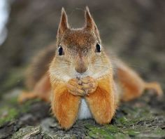 Omg...that's what our squirrels do! They get so tired while eating that they just lay down and eat! Haaa!