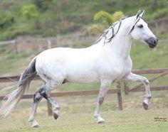 Mangalarga Marchador, Gaited Horse of Brazil