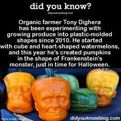 Organic farmer Tony Dighera has been experimenting with growing produce into plastic-molded shapes since 2010. He started with cube and heart-shaped watermelons, and this year he's created pumpkins in the shape of Frankenstein's monster, just in time for Halloween.  Source
