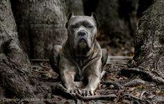 #cane #corso #dog #animals #pets #mean #cool #dogs #italian #mastiff