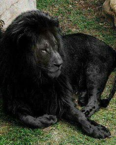 The last Black lion alive.  Didn't even know they existed.  Beautiful!!