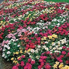 rosenbeet im sommer mit frostharten rosensorten rosenpflege pinterest rosenbeet. Black Bedroom Furniture Sets. Home Design Ideas