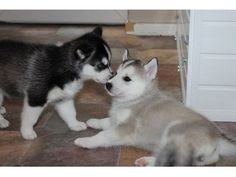 Sweet Siberian Husky Puppies - Animals - Albany - Georgia - announcement-98350 #siberianhusky
