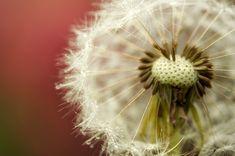 Garden, Dandelion, Buttercup, Garden, Drip #garden, #dandelion, #buttercup, #garden, #drip