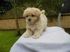 cute shih tzu poodle puppies - Google Search