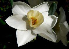 White Jonquil Flower MARCH