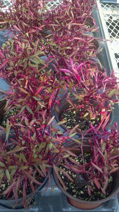 Alternanthera Dentata Brazilian Red Hots Plant Shop Tropical