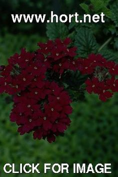 Verbena 'Temari Burgundy', flowers 1 of 1 (Temari Burgundy verbena) Burgundy Flowers, Verbena, Herbs, Thing 1, Plants, Herb, Plant, Planets, Medicinal Plants