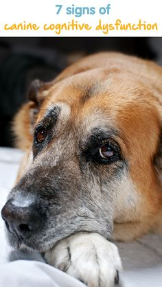 7 Signs Of Canine Cognitive Dysfunction