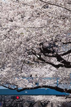 From Issekinicho #sakura blossoms, #japan