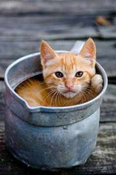 Cute Little Scottish Fold Kitten Sitting | Cute Kittens | Pinterest ...