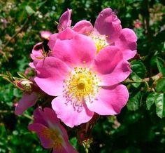 La rosa mosqueta es utilizada incluso en cirugía, para eliminar cicatrices, estrías y regenerar los tejidos.