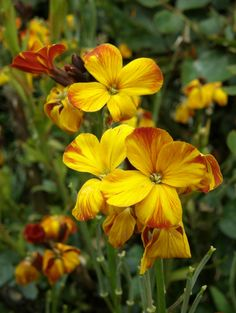 wallflowers - not the most beautiful but the fragrance is..