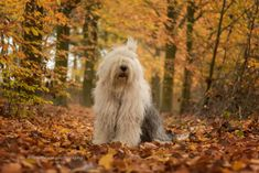 Portuguese Water Dog, Bearded Collie, Animal Magic, Old English Sheepdog, Creatures, Autumn, Dogs, Doodles, Beauty