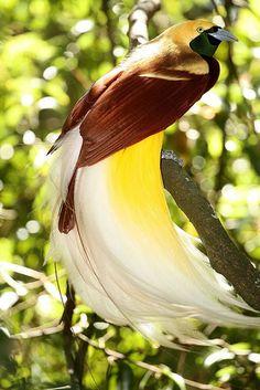 """Aves de colores * """"Ave del paraíso mayor"""""""