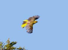 Cardeal-amarelo (Gubernatrix cristata) macho: espécie ameaçada de extinção. Endangered specie. Foto: Oscar Abener Fenalti | Wiki Aves - A Enciclopédia das Aves do Brasil