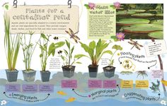Plants for a Container Pond - RHS Garden Projects Water Garden Plants, Container Water Gardens, Pond Plants, Aquatic Plants, Water Plants For Ponds, Container Fish Pond, Bog Garden, Patio Pond, Pond Landscaping