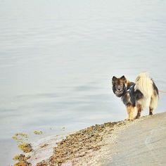 Keela the Finnish Lapphund is looking good on Pack. Corgi, Life, Animals, Animales, Animaux, Corgis, Animal, Animais