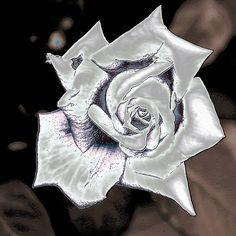 silver.quenalbertini: Silver Rose